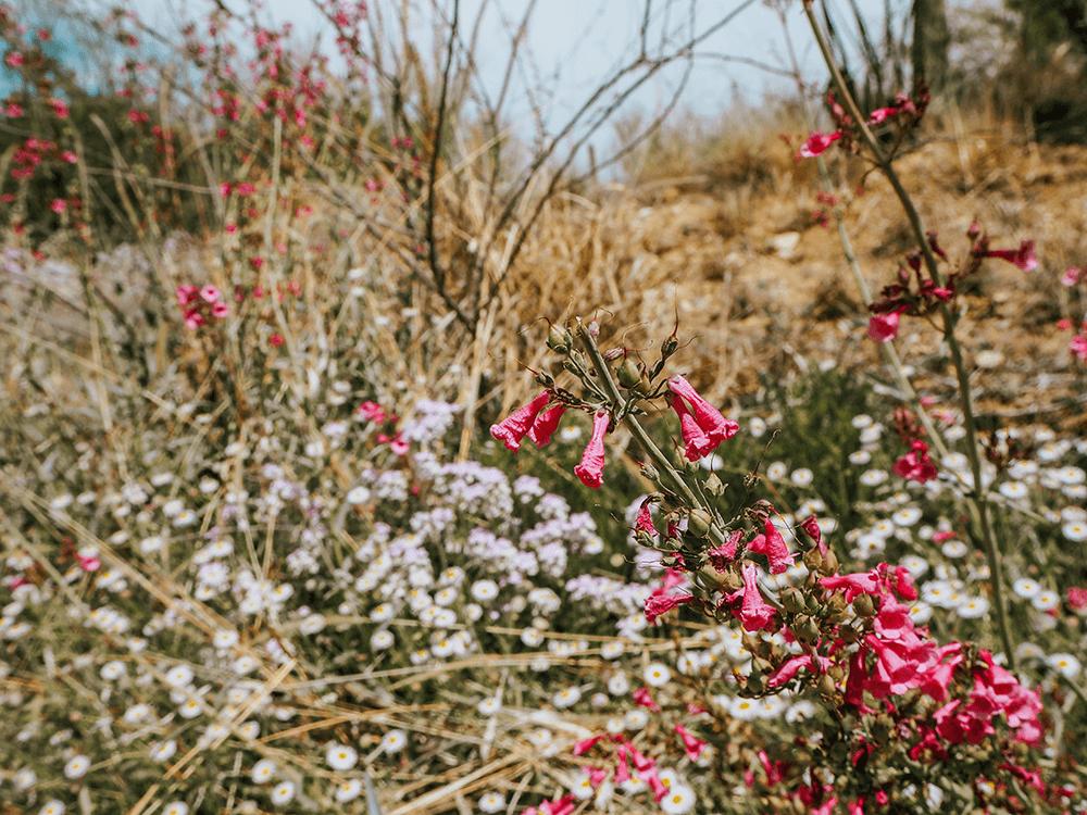 Pink Wildflower in Sonoran desert