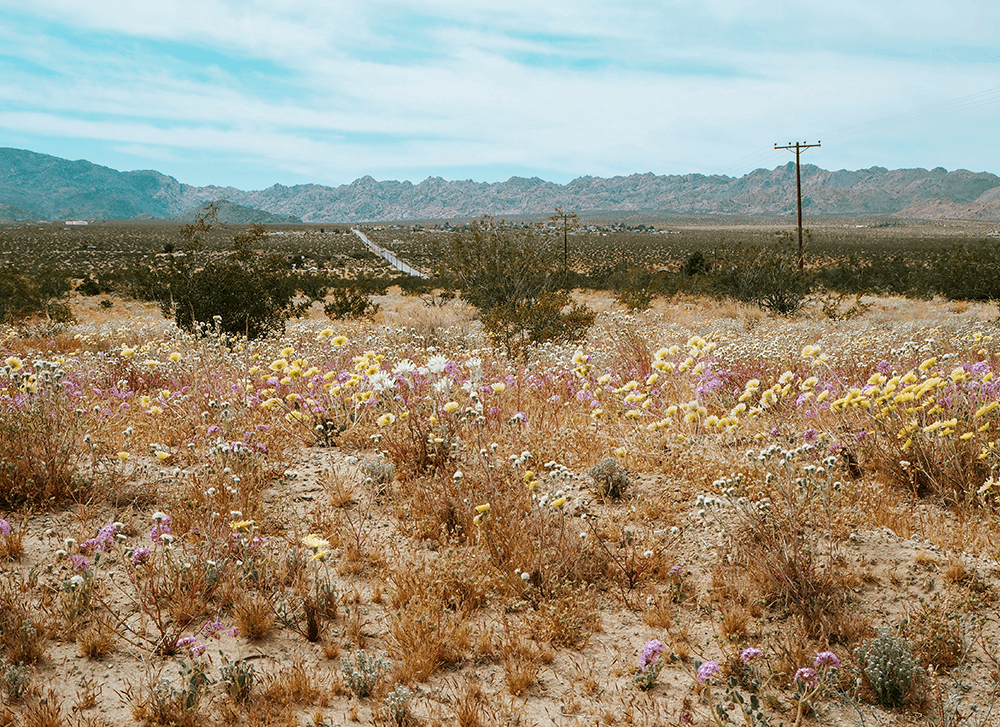 Wildflower Field during Spring in the desert