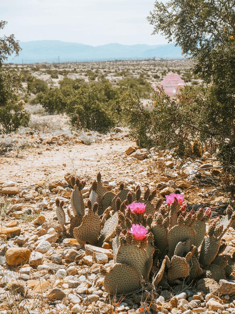 Blooming Beavertail Cactus during Spring in the Desert