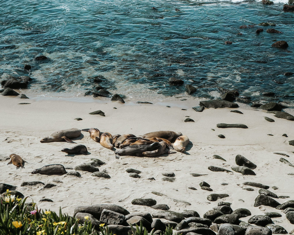 La Jolla Cove Sea Lions sunbathing on the beach